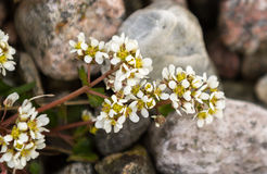 Common Scurvygrass, Cochlearia officinalis, on the pebble shore in the island of Jomfruland in Jomfruland National Park Royalty Free Stock Photo
