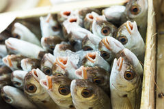 Common Sea Bream on Display at the Market Royalty Free Stock Image