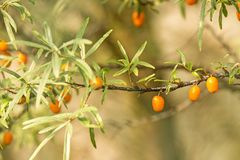 Common sea-buck-thorn fruits. At a tree in Germany Stock Images