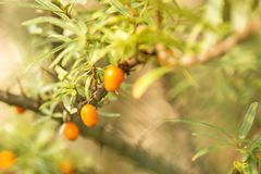 Common sea-buck-thorn fruits. At a tree in Germany Stock Photos