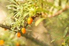Common sea-buck-thorn fruits Stock Photos