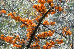 Common sea-buckthorn Stock Photography