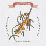 Common sea buckthorn color sketch. Green apothecary series. Great for traditional medicine, gardening or cooking design Stock Image