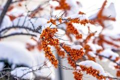 Common sea-buckthorn fruits Royalty Free Stock Photo