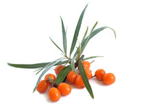 Common sea-buckthorn (Hippophae rhamnoides). The fruits of sea buckthorn are used in traditional medicine (tea, juice, syrup) and cosmetic industry royalty free stock image