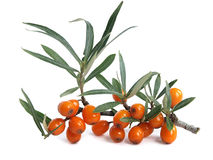 Common sea-buckthorn (Hippophae rhamnoides) Stock Images