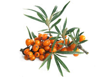 Common sea-buckthorn (Hippophae rhamnoides) Royalty Free Stock Image