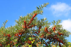 Common sea-buckthorn  Hippophae rhamnoides Stock Images