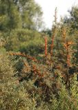 Common Sea-Buckthorn Stock Photo