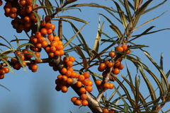 Common Sea-Buckthorn Stock Images