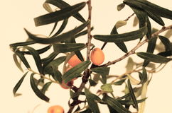 Common sea-buckthorn Royalty Free Stock Image
