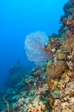 Common sea fan on coral reef. Common gorgonian sea fan on variety of colorful coral of great barrier reef, australia Stock Photo