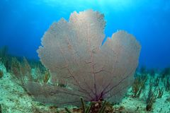 Common sea fan coral. In the tropical reef of the caribbean sea Stock Images