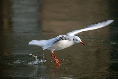 Common Sea Gull approaching a frozen river royalty free stock photo