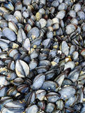 Common sea mussels seafood Stock Photography