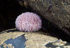 Common Sea Urchin (Echinus Esculentus) Stock Photo