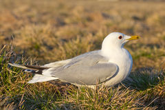 Common seagull bird Stock Image