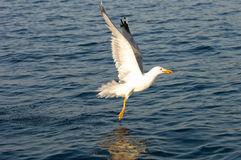 Common seagull landing to the sea. Royalty Free Stock Photo
