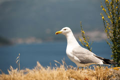 Common seagull landing to the sea Stock Photography