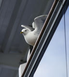 Common Seagull Stock Images