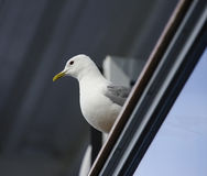 Common Seagull Royalty Free Stock Photography