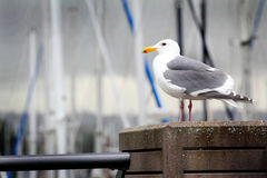 Common Seagull Stock Photo