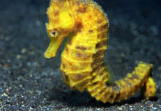Common Seahorse. Close-up of a Yellow Common Seahorse (Hippocampus Taeniopterus), Lembeh Strait, Indonesia Stock Image