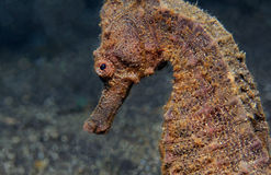 Common Seahorse Royalty Free Stock Photography