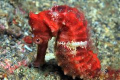 Common Seahorse Royalty Free Stock Photos
