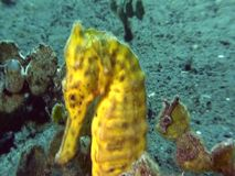 Common seahorse Hippocampus kuda. In Indonesia stock video footage