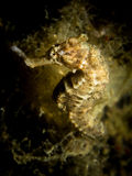 Common Seahorse - Hippocampus taeniopterus Royalty Free Stock Photo