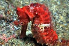 Common seahorse. (Hypocampus kuda) on the sea floor Royalty Free Stock Photos
