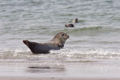 Common Seal 1. A common seal near the strand royalty free stock image