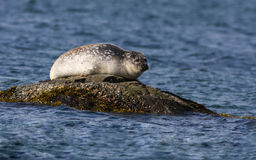 Common seal Royalty Free Stock Photos