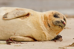 A common seal. Is resting on the beach Royalty Free Stock Photo