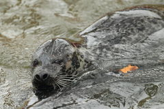 Common seal Stock Images