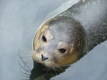 Common seal Royalty Free Stock Photo