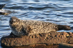 Common Seal. A common or harbour seal basking on the rocks in the late afternoon sun Royalty Free Stock Photography