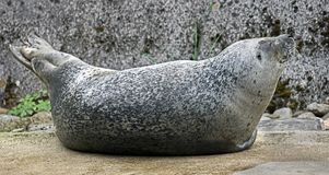 Common seal 1 Royalty Free Stock Images