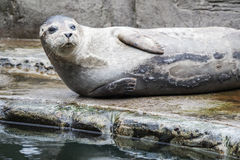 Common seal close up photo Royalty Free Stock Photography