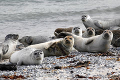 Common seal colony at the beach Royalty Free Stock Image