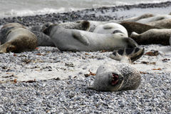 Common seal colony at the beach Stock Photos
