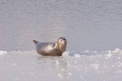 Common seal on ice Royalty Free Stock Image