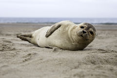 Common seal Stock Photography