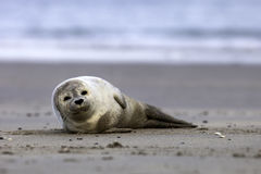 Common seal Stock Photos