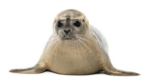 Common seal lying, facing, Phoca vitulina, 8 months old Royalty Free Stock Photos