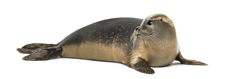 Common seal lying, looking away, Phoca vitulina, 8 months old Royalty Free Stock Photos