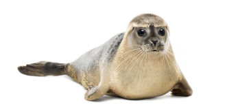 Common seal lying, looking at the camera, Phoca vitulina royalty free stock image