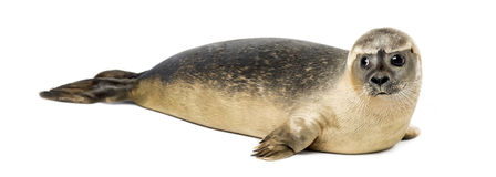 Common seal lying, Phoca vitulina, 8 months old, isolated. On white Stock Photo