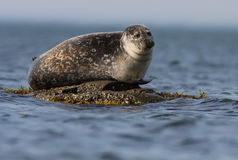 Common seal in the ocean Royalty Free Stock Images